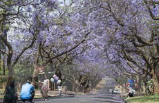 Nam Phi: Rực rỡ sắc tím hoa dạ lan hương tại thành phố Pretoria