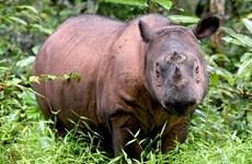 Loài tê giác Sumatra đã chính thức tuyệt chủng tại Malaysia