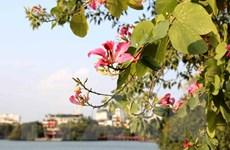 Hoa ban tím rạng rỡ khoe sắc ngay giữa trái tim Thủ đô Hà Nội