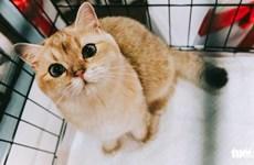 """Những chú mèo ngộ nghĩnh lần đầu tiên được """"tranh tài"""" tại Việt Nam"""
