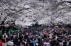 Người dân tụ tập ngắm hoa anh đào tại Tokyo bất chấp dịch bệnh
