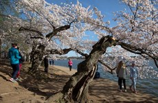 Mỹ: Thủ đô Washington hạn chế lượng người đi ngắm hoa anh đào