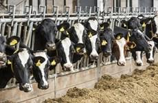 Lượng khí thải từ chăn nuôi tại châu Âu cao hơn khí thải ôtô