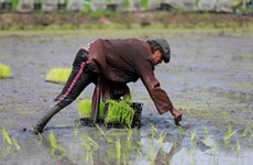 Xuất khẩu gạo của Thái Lan năm 2021 có thể vẫn sẽ ở mức thấp