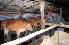 Chủ động thực hiện các giải pháp phòng chống rét cho gia súc, gia cầm