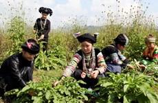 Trồng thành công cây tam thất trên cao nguyên Đồng Văn