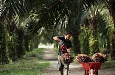 Thời tiết xấu khiến sản lượng dầu cọ tại Indonesia giảm