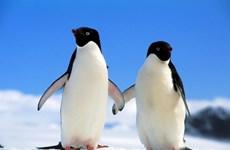Chim cánh cụt có từ 20 triệu năm trước