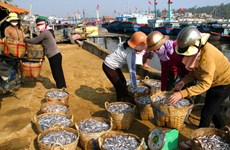 Ngư dân Bình Thuận trúng đậm mùa cá cơm đầu năm