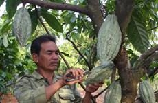 Đắk Lắk khó đạt mục tiêu 6.000 ha cacao vào năm 2015