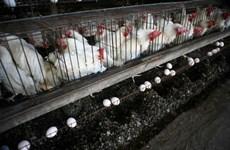 EU ngừng nhập khẩu gia cầm và trứng từ khu định cư ở Bờ Tây