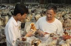 Trồng nấm linh chi đỏ ở đảo Phú Quốc mang lại hiệu quả cao
