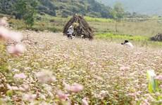 [Photo] Thảm hoa Tam giác mạch đẹp mê người trên cao nguyên Đồng Văn