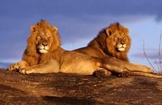 Báo động loài sư tử châu Phi trước nguy cơ tuyệt chủng