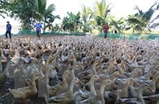 Phú Yên: Nguy cơ lây lan dịch bệnh từ xác vịt chết thả trôi sông
