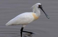Đồng Nai: Lần đầu tiên phát hiện cá thể cò mỏ thìa tại hồ Trị An