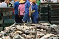Sốc với cảnh cá mập quý hiếm bị bày bán la liệt tại Trung Quốc