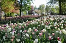 [Video] Ngắm vườn hoa tulip rực rỡ tại Hà Lan giữa mùa dịch