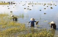 Quảng Trị: Gần 3.000ha lúa sắp thu hoạch bị đổ do mưa to, gió mạnh