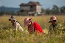 Xuất khẩu gạo của Campuchia tăng mạnh trong 4 tháng đầu năm 2020
