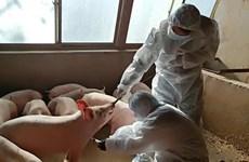 WHO: Chủng virus cúm lợn mới công bố được nghiên cứu từ năm 2011