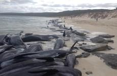 Cá voi mắc cạn, bờ biển Nam Australia trở thành nghĩa địa khổng lồ