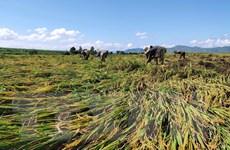 Kon Tum tập trung giúp dân thu hoạch, phục hồi nông nghiệp sau bão
