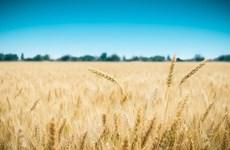 Australia đẩy mạnh xuất khẩu lúa mạch sản xuất bia sang Việt Nam