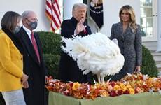 Ông Trump tổ chức lễ xá tội gà tây khi quá trình chuyển giao bắt đầu