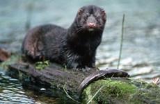 Dịch COVID-19: Mỹ xác nhận ca nhiễm đầu tiên ở động vật hoang dã