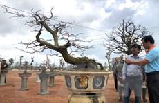 Bình Định: Quảng bá giá trị nghệ thuật của cây mai vàng