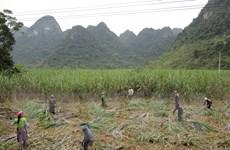 Vực dậy ngành mía đường trong nước: Sản xuất đang bị thu hẹp