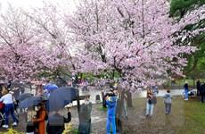 [Photo] Người dân Moskva đội mưa tới công viên ngắm hoa anh đào đua nở