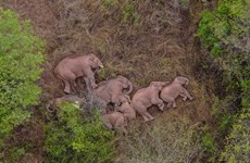 Đàn voi lang thang ở Trung Quốc bỗng thành các siêu sao quốc tế