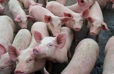 Các nước Trung Mỹ lo ngại nguy cơ lây lan dịch tả lợn châu Phi