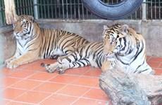 Nghệ An: Thông tin chính thức về các cá thể hổ bị công an thu giữ