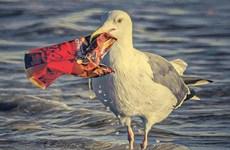 Báo động tình trạng chim biển nuốt phải phụ gia nhựa độc hại