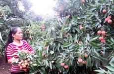 Mùa vải thiều Bắc Giang: Nỗi lo cận kề khi ngày thu hoạch đến gần