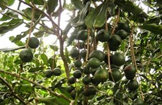 Mở rộng phát triển cây mắcca gắn với nhu cầu của thị trường