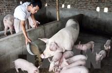Chăn nuôi nông hộ nhỏ đối mặt với thử thách ngày càng lớn