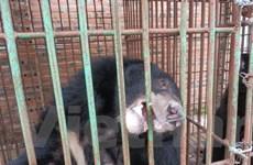 Khẩn trương chuyển giao toàn bộ số gấu nuôi bị bỏ đói ở Quảng Ninh