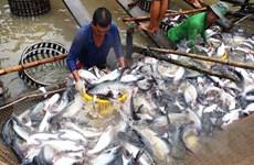 Giá cá tra nguyên liệu tăng do doanh nghiệp đẩy mạnh thu mua