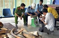 Sẽ tiêu hủy trên 2 tấn ngà voi và 70kg sừng tê giác tại huyện Sóc Sơn