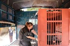Cứu hộ thành công 6 cá thể gấu ngựa bị nuôi nhốt tại Đắk Lắk