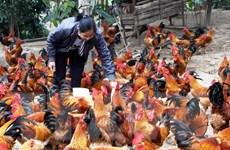 """Năm Dậu nói chuyện gà: Sẽ """"bay"""" vào thị trường thế giới"""