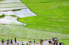 Cả nước đã gieo cấy được gần 3 triệu hécta lúa Đông Xuân