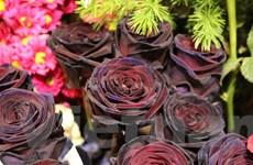 """Hoa hồng đen độc đáo, ấn tượng """"chuộng khách"""" dịp 8/3"""