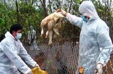 Xuất hiện ổ dịch cúm gia cầm H5N6 mới tại Quảng Trị