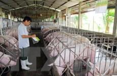 Doanh nghiệp mua 40.000 con lợn với giá cao hỗ trợ người chăn nuôi