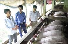 Thị trường thịt lợn chuyển biến tích cực, giá lợn hơi tăng 7.000 đồng